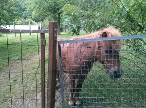 ~Can`t decide if this is a mule or a pony :/